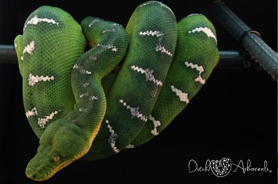 Corallus caninus female (CcNL2), mother of the 2012 litter.