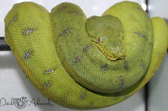 Corallus caninus anaconda phase female (CcAP2).