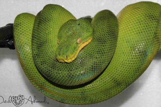 Corallus caninus anaconda phase female (CcAP3).