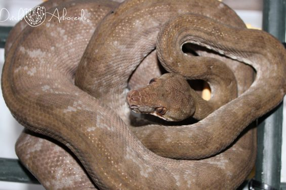 Corallus hortulanus female Ch11, mother of the 2015 litter.