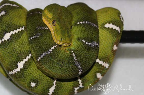 Corallus caninus female (GBCcN15) picking up some nice darkness, holdback from 2011.