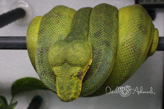 3-6-2018: One of my breeder males (CcAP1), Anaconda Phase Emerald Tree Boa - Corallus caninus.