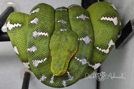 20-8-2018: One of my Corallus caninus - Northern Emerald Tree Boa  breeder females, she was born here in 2012 and she is the mother from the project 1- 2017 babies.
