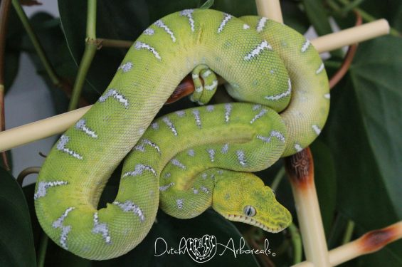 20-8-2018: Corallus caninus - Northern Emerald Tree Boa  from 2017 (GBCcN57-L2-2017).