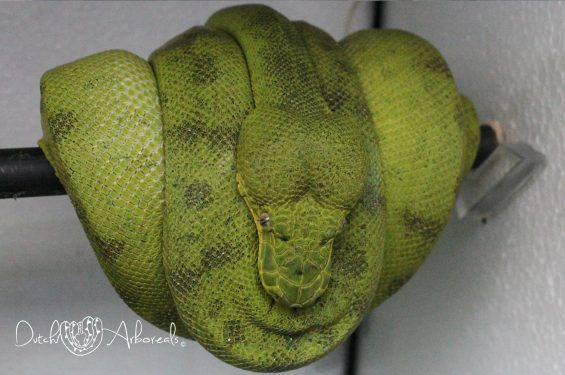 21-11-2018: Normal green colored Corallus caninus - Anaconda Phase Emerald Tree Boa (GBCcAPxCcAP3), this female is a litter mate to the animal on the right, with photos of  both animals next to each other you can see very good the difference in color and pattern.