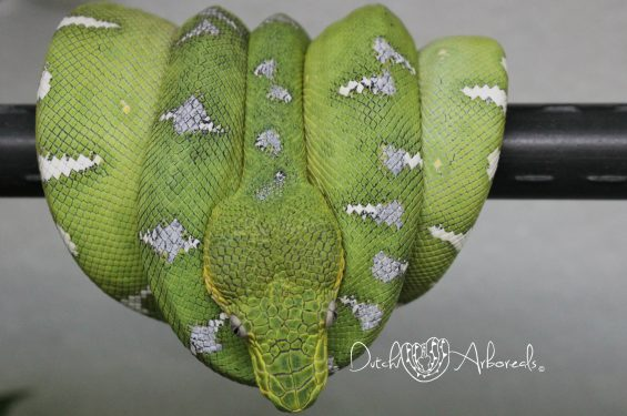 8-11-2018: Northern Emerald Tree Boa - Corallus caninus (GBCcN51-L1-2017).