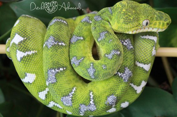11-2-2019: Corallus caninus- Northern Emerald Tree Boa (GBCh93-L5-2017).