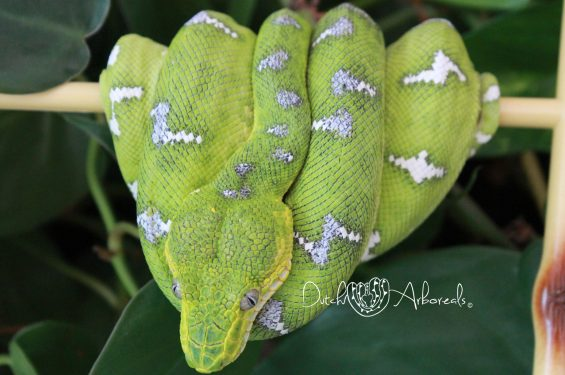 11-2-2019: Corallus caninus- Northern Emerald Tree Boa (GBCh44-L1-2017).