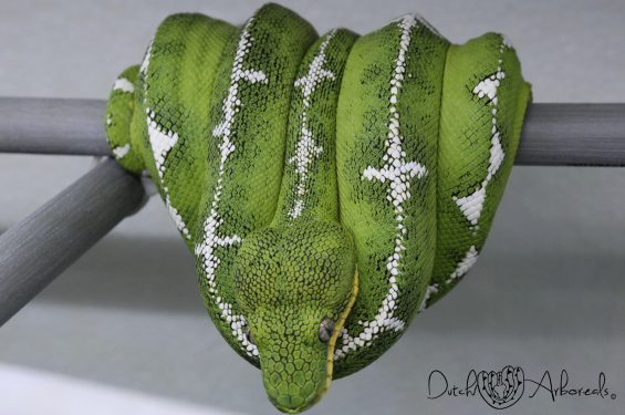 17-4-2019: Corallus batesii- Amazon Basin Emerald Tree Boa (GBCb6-L2-2016).
