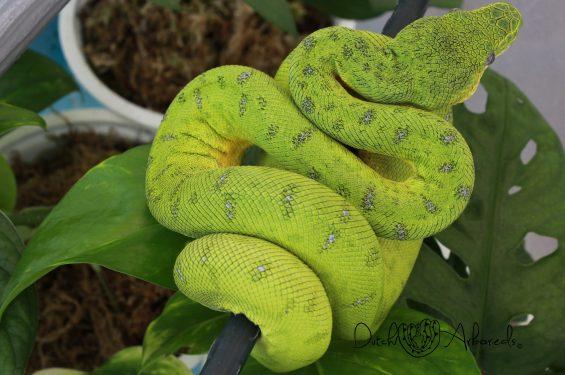 25-1-2020: Corallus caninus – Anaconda Phase Emerald Tree Boa (GBCcN104-L1-2018).